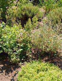 growing herbs in a sunny garden bed
