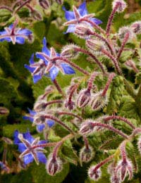 a growing borage plant with blue flowers