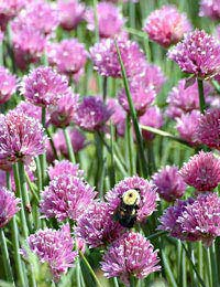 flower chives growing in a garden with a bee harvesting pollen.