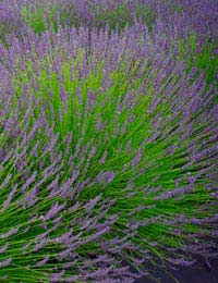 flowering lavender growing in a large clump
