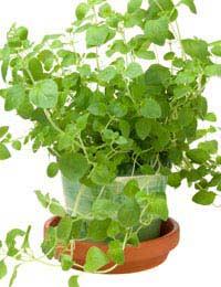 a pot of growing oregano