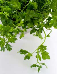 a bunch of green growing parsley