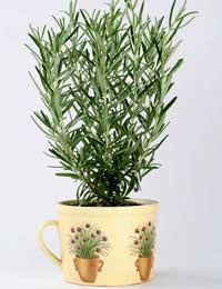 rosemary growing in an attractive pot