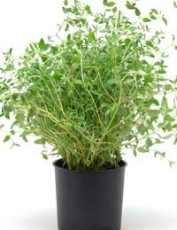 growing thyme in a black pot