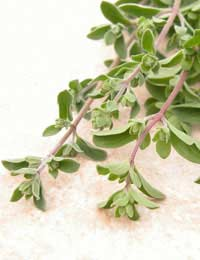 A bunch of marjoram ready to be used in cooking.