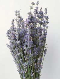a bunch of dried lavender, ready for using